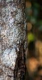 Гекконовые Uroplatus в Мадагаскаре Стоковые Фотографии RF