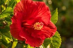 Гениальное красное цветение бугинвилии Стоковое Фото