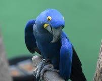 Гениальный голубой и желтый попугай ары гиацинта Стоковое Изображение RF