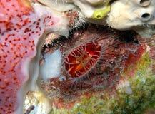 гениальный красный цвет пожара clam стоковое фото rf