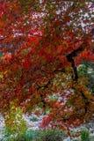 Поразительное листво красного клена в Техас. Стоковое Изображение