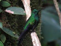 Гениальное увенчанное зеленым цветом Стоковые Изображения RF
