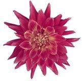 Георгина цветок ярко розовый, белая предпосылка изолированная с путем клиппирования closeup без теней Большая, запятнанная, spiky Стоковое Изображение RF