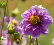 Георгин и пчела путать Стоковое Изображение