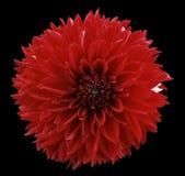 Георгин красного цвета цветка предпосылка изолированная чернотой с путем клиппирования closeup Отсутствие теней Для конструкции Стоковое фото RF