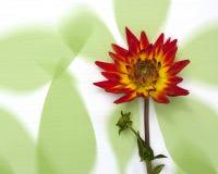 Георгин на зеленой предпосылке Стоковое Фото