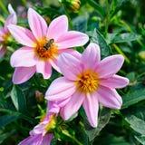 Георгин, путает пчела на цветке Сфокусируйте его на цветках отмело стоковая фотография rf