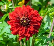 Георгин сложноцветные большой красный конец-вверх цветка астры стоковое фото rf