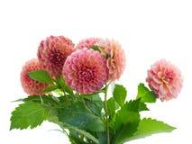Георгин цветет букет Стоковая Фотография RF