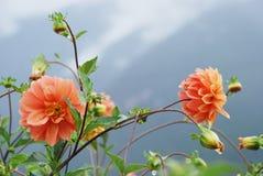 георгин цветет одичалое Стоковое фото RF