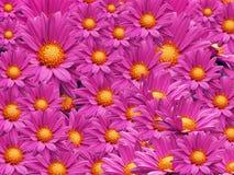 Георгин цветет предпосылка Стоковая Фотография RF