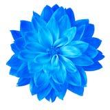 Георгин цветка голубой изолированный на белой предпосылке Конец-вверх элемент конструкции рождества колокола Стоковые Изображения