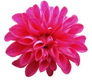 Георгин цветка розовый изолированный на белой предпосылке closeup Стоковое фото RF