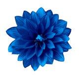 Георгин цветка ультрамариновый изолированный на белой предпосылке Конец-вверх Стоковое Изображение