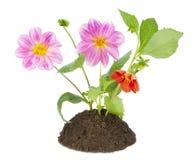 георгин bush цветет миниая стоковые изображения rf