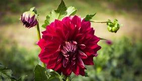 Георгин Pinnata яркий красный большой цветок орнаментально стоковые изображения rf