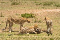 3 гепарда в саванне стоковая фотография rf
