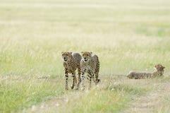 3 гепарда на запасе игры Mara Masai, Кении стоковые фотографии rf