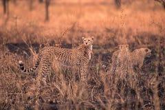 Гепарды в африканской саванне Сафари в саванне национального парка Serengeti, Танзании Близко к Maasai Mara, Кения ? стоковое изображение rf