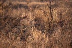 Гепарды в африканской саванне Сафари в саванне национального парка Serengeti, Танзании Близко к Maasai Mara, Кения ? стоковая фотография