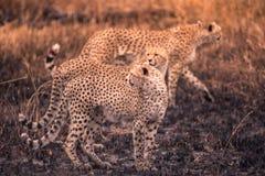 Гепарды в африканской саванне Сафари в саванне национального парка Serengeti, Танзании Близко к Maasai Mara, Кения ? стоковые фотографии rf