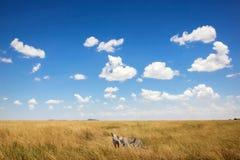 Гепарды против красивого неба с облаками вышесказанного сафари стоковое фото rf