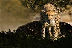гепарды стоковая фотография rf