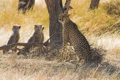гепарды Стоковые Изображения RF