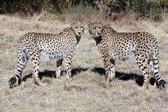 гепарды 2 Стоковая Фотография