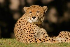 гепард Африки южный Стоковые Изображения