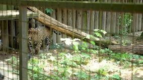 Гепард в клетке зоопарка сток-видео