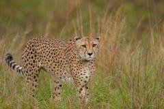 Гепард в одичалом в Kwazulu Natal стоковое фото