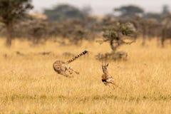 Гепард гоня газеля Томсона среди свистя терниев стоковая фотография rf