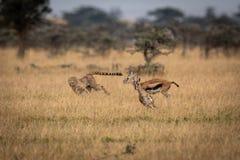 Гепард гоня газеля 2 Томсон в саванне стоковое фото rf