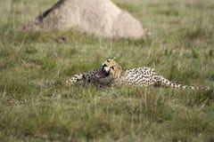гепард зевая Стоковое Изображение RF
