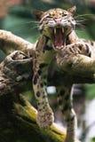 Гепард зевая Стоковая Фотография RF