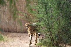 Гепард идет вокруг куста Стоковое Фото