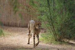 Гепард идет перед кустом Стоковые Фотографии RF