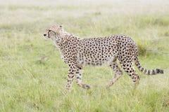 Гепард идя на саванну, Masai Mara, Кению Стоковые Фото