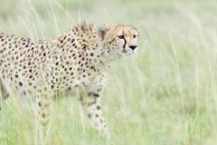 Гепард идя на саванну, Masai Mara, Кению Стоковое Изображение RF