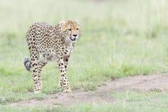 Гепард идя на саванну, Masai Mara, Кению Стоковые Изображения