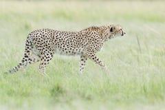 Гепард идя на саванну, Masai Mara, Кению Стоковые Фотографии RF
