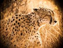 Гепард идя через длинную траву стоковое изображение rf