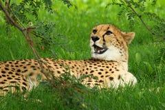 Гепард лежа на траве
