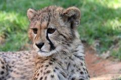 гепард младенца Стоковое Изображение