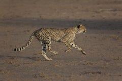 Гепард на беге, гоня добычу Стоковое Изображение RF