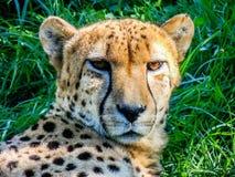 Гепард ослабляя в тени, Окленд, зоопарк, Окленд Новая Зеландия Стоковая Фотография