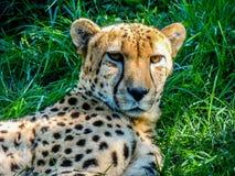 Гепард ослабляя в тени, Окленд, зоопарк, Окленд Новая Зеландия Стоковое Фото