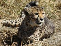 Гепард ослабляя на траве Стоковое Изображение RF