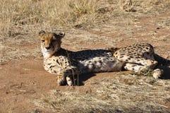 Гепард ослабляя на nea Projekt CCF консервации гепарда Стоковая Фотография RF